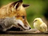 Le renard libre dans le poulailler libre