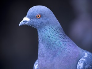 Photo-Pigeon