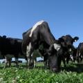 Vaches en Nouvelle Zelande