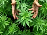 L'Uruguay s'apprête à légaliser la marijuana