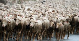 Impôts, cotisations : la tonte des moutons et ses conséquences