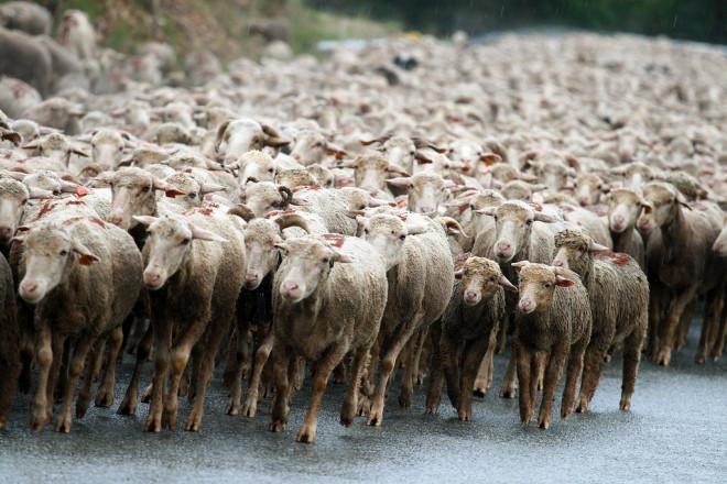 Moutons (Crédits bibendum84, licence Creative Commons)