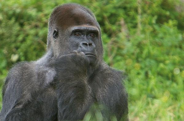 Gorille - source site Vallée des singes