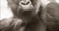 L'homme, le singe et le langage