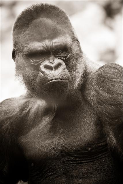 L homme le singe et le langage contrepoints - Le singe d aladdin ...