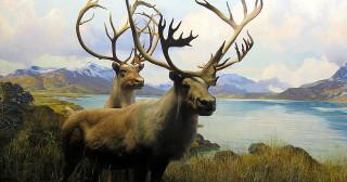 Espèces menacées : un caribou plutôt cher !