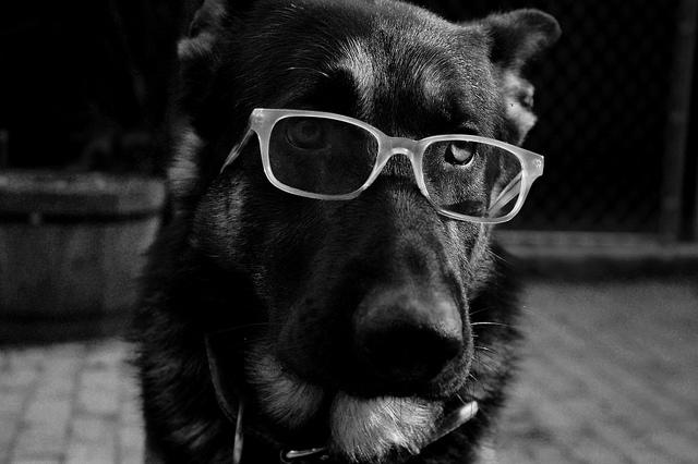 chien à lunettes credits alison elisabeth X (licence creative commons)