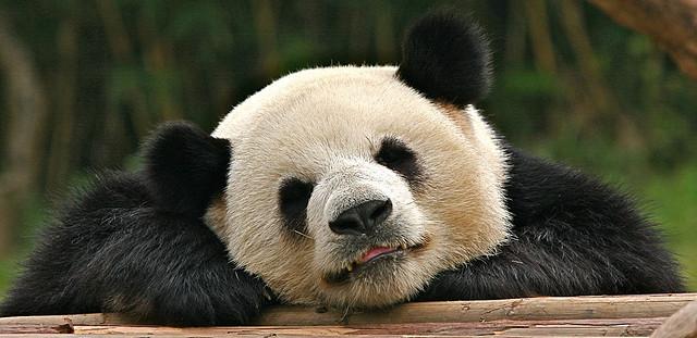 panda credits chi liu (licence creative commons)