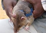 Des rats démineurs au secours de l'humanité