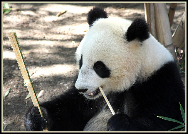 panda credits tinyfroglet (licence creative commons)