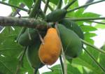 La papaye, les crèmes de beauté et l'eczéma