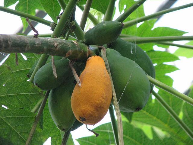 Papaye credits JaHoVil  (CC BY-NC-SA 2.0)