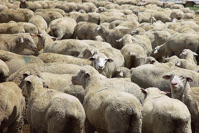 sheep credits James Good  (CC BY-NC-ND 2.0)