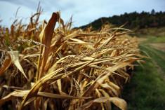 maïs sécheresse- Leonard B (CC BY-NC-ND 2.0)