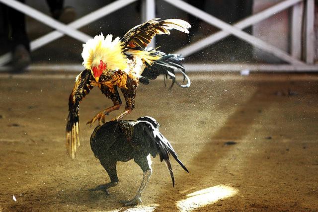 Combat de coqs- Carlos (CC BY-NC-ND 2.0)