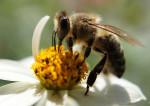 Un monde sans abeilles sauvages ?