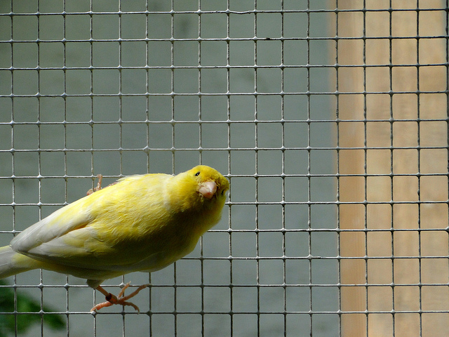 canari looking at me credits kerelrobert via Flickr ( (CC BY-NC-ND 2.0)