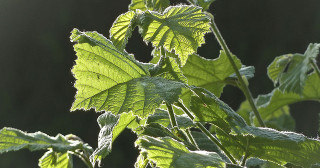 Des feuilles de châtaignier contre le staphylocoque