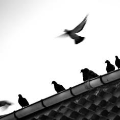 pigeons-oiluj small zeid(CC BY-NC-ND 2.0)