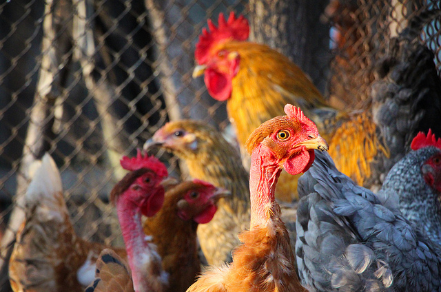 poules-olivier duval-(CC BY 2.0)
