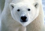 Écologie : l'ours polaire et sa doublure médiatique