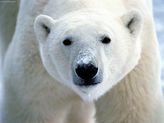 Snow on Snout, Polar Bear credits flickrfavorites (CC BY 2.0)