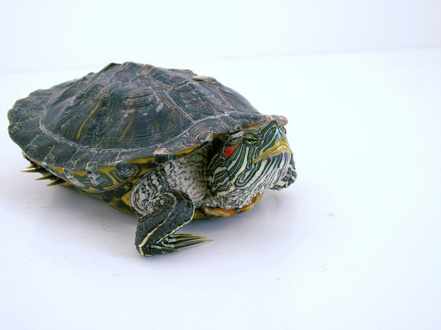Turtle crédits Nicholas LabyrinthX (CC BY-SA 2.0)