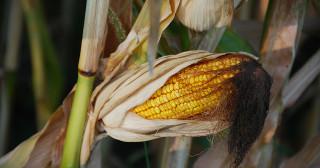 Maïs MON 810 : annulation de l'interdiction de cet OGM