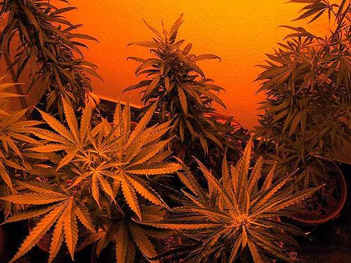 Cannabis : nouvelles avancées aux USA