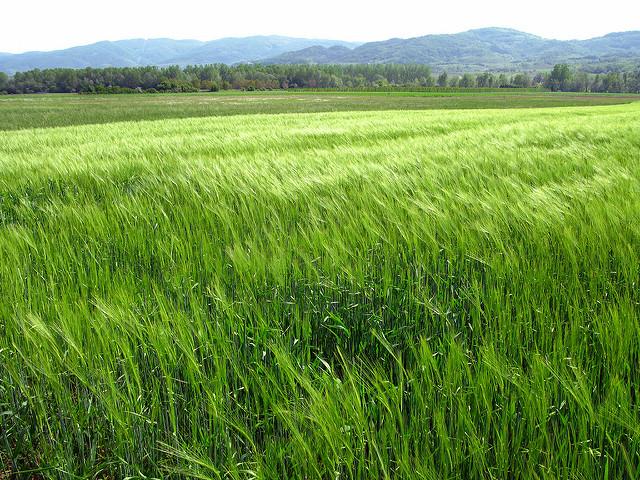Champ de blé OGM