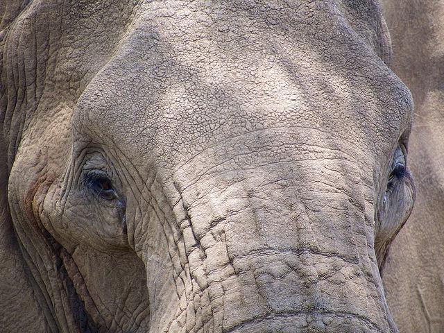 Sauvez les éléphants !.. en les privatisant
