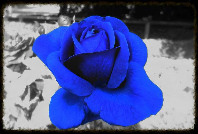rose bleue du FN