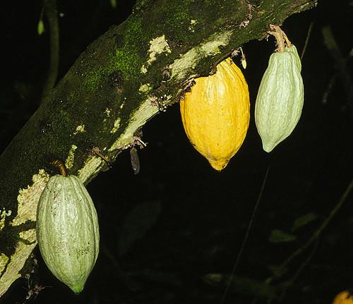 Côte d'Ivoire : libéraliser les prix pour sauver la filière cacao