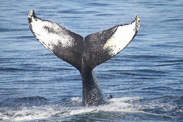 Comment l'industrie du pétrole a sauvé les baleines